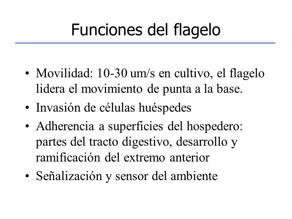 Funciones del flagelo Movilidad: 10-30 um/s en cultivo, el flagelo lidera el movimiento de punta a la base. Invasión de células huéspedes Adherencia a