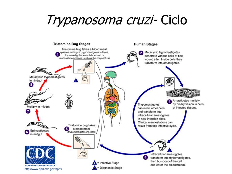 Trypanosoma cruzi- Ciclo