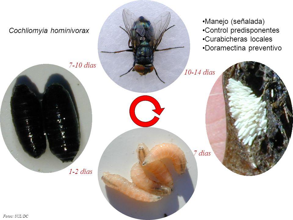 Fotos: SUL/DC 7 días 10-14 días 7-10 días 1-2 días Cochliomyia hominivorax Manejo (señalada) Control predisponentes Curabicheras locales Doramectina p
