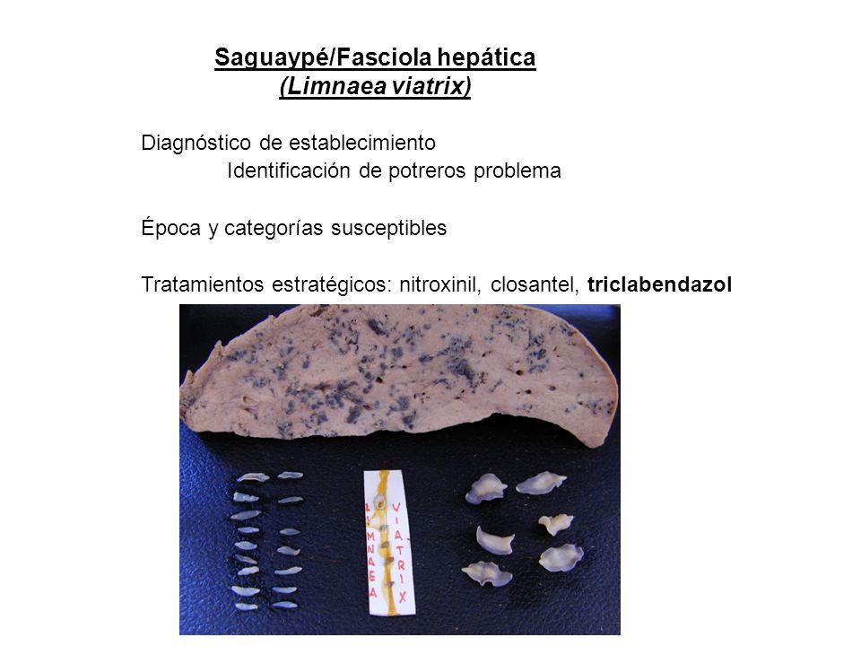 Saguaypé/Fasciola hepática (Limnaea viatrix) Diagnóstico de establecimiento Identificación de potreros problema Época y categorías susceptibles Tratam