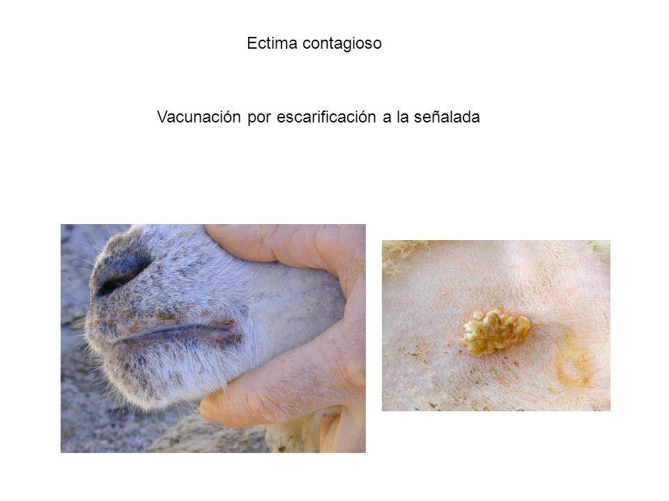 Ectima contagioso Vacunación por escarificación a la señalada