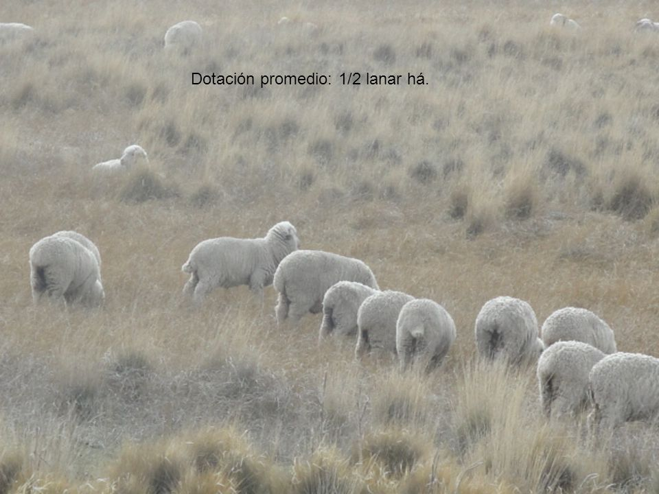 Enero Febrero Marzo Abril Mayo Junio Julio Agosto Septiembre Octubre Noviembre Diciembre Encarnerada Gestación Lactancia Parición Destete Esquema del ciclo reproductivo de los ovinos en Uruguay