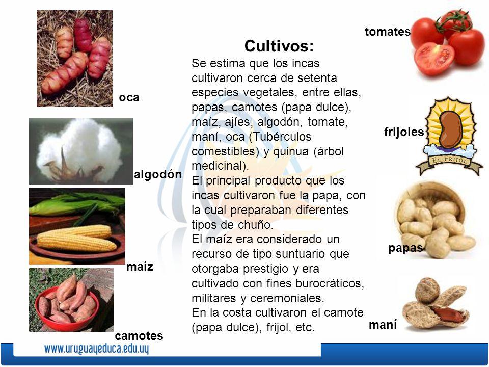 Cultivos: Se estima que los incas cultivaron cerca de setenta especies vegetales, entre ellas, papas, camotes (papa dulce), maíz, ajíes, algodón, toma