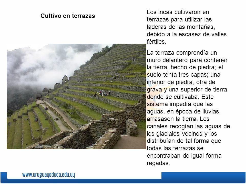 Cultivo en terrazas Los incas cultivaron en terrazas para utilizar las laderas de las montañas, debido a la escasez de valles fértiles. La terraza com