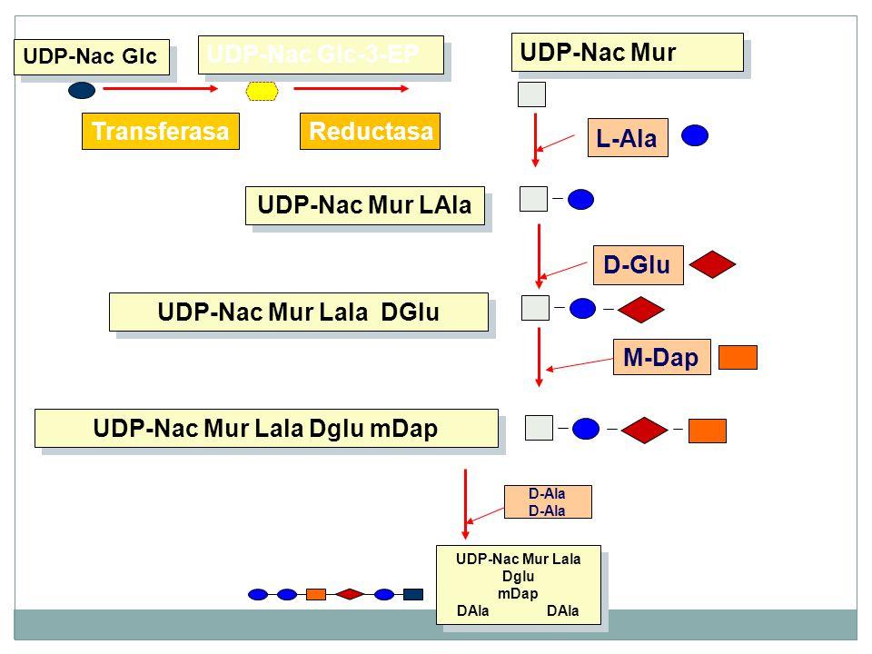 D-Ala UDP-Nac Mur Lala Dglu mDap DAla DAla UDP-Nac Glc UDP-Nac Mur LAla M-Dap D-Glu UDP-Nac Mur Lala DGlu UDP-Nac Mur Lala Dglu mDap UDP-Nac Mur L-Ala