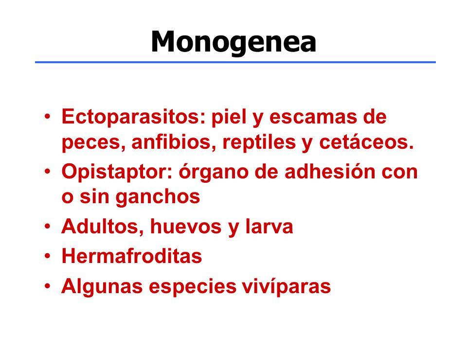 Monogenea Ectoparasitos: piel y escamas de peces, anfibios, reptiles y cetáceos. Opistaptor: órgano de adhesión con o sin ganchos Adultos, huevos y la