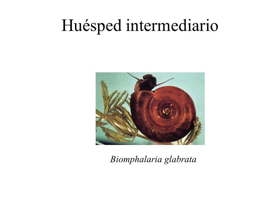 Huésped intermediario Biomphalaria glabrata