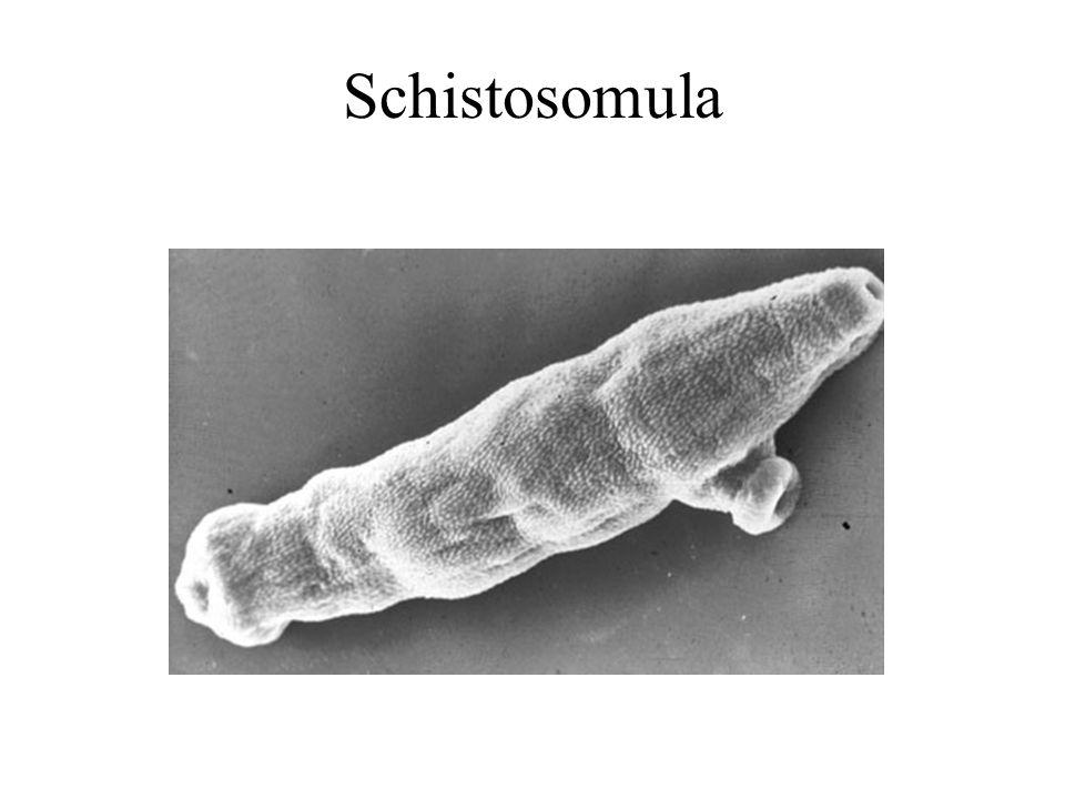 Schistosomula