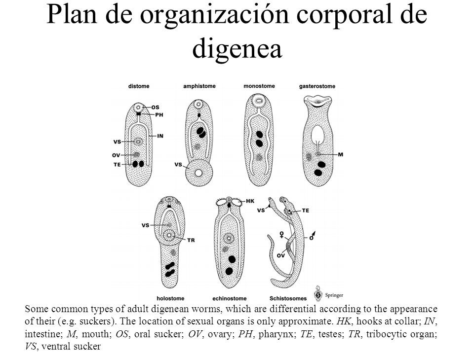 Plan de organización corporal de digenea Some common types of adult digenean worms, which are differential according to the appearance of their (e.g.