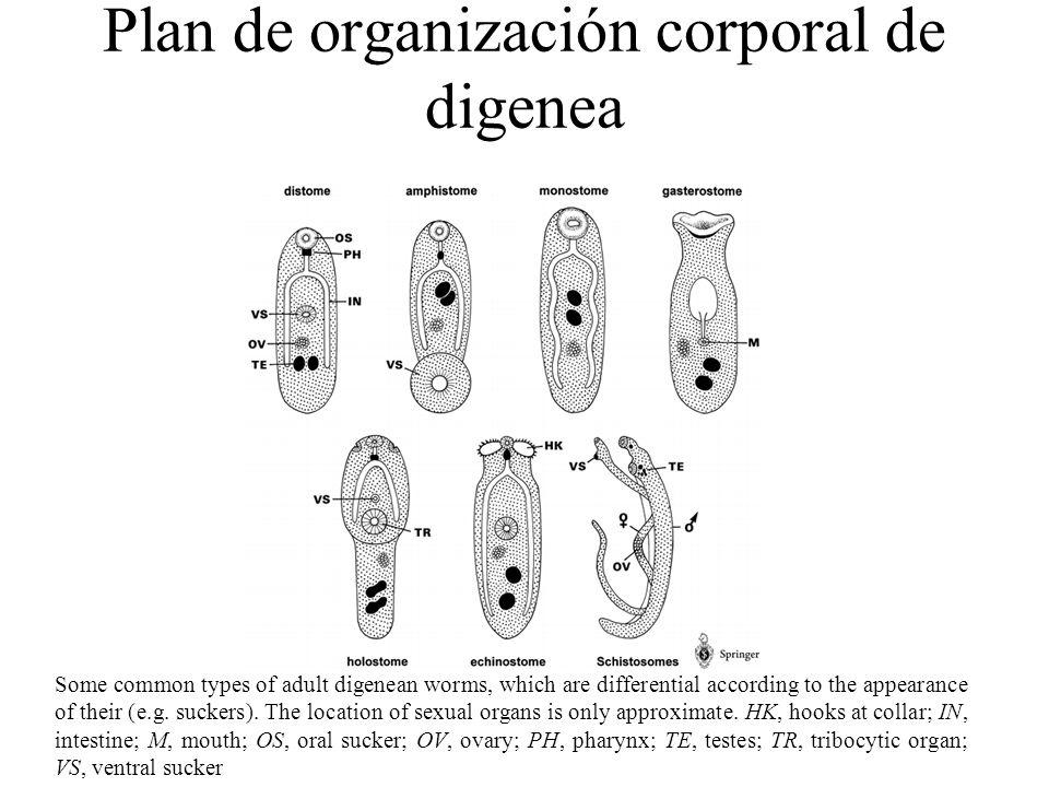 Superficie tegumentaria de Fasciola hepatica