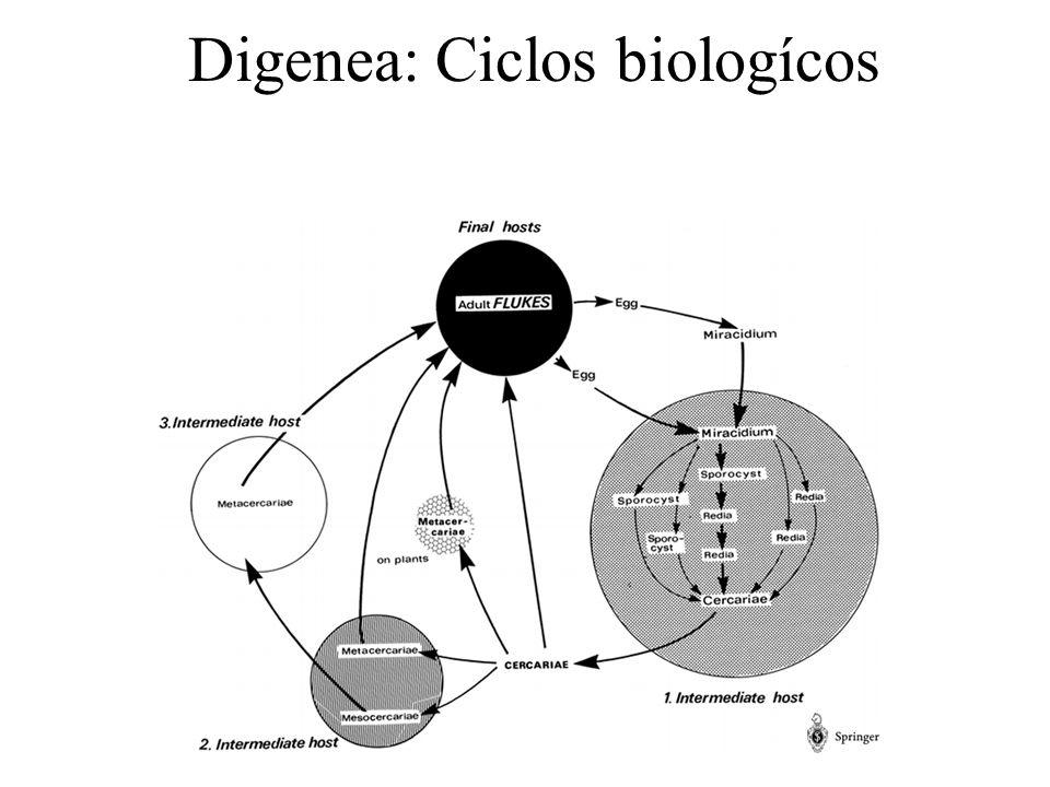 Adultos de clase Digenea EX, excretory bladder; GP, genital pore; GÖ, genital bulbus; HK, hooks, spines of IN, intestine; INC, intestine (cut off on drawing); LC, ; OS, oral sucker; OV, ovary (); RS, TE, UT, uterus with eggs; VE, vas efferens of TE; VI, vitellary glands VS, ventral sucker ()