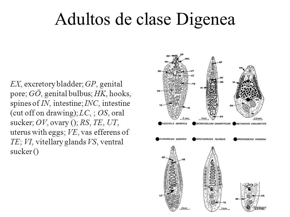 Adultos de clase Digenea: localización intestinal BE, bulbus of esophagus; BU, bulbus (apical); EX, excretory bladder; GP, genital pore; HK, hooks, spines of tegument; IN, intestine; LC, OS, oral sucker; OV, ovary RS, receptaculum seminis; UT, uterus with eggs; VI, vitellary glands (); VS, ventral sucker (); VSE, vesicula seminalis