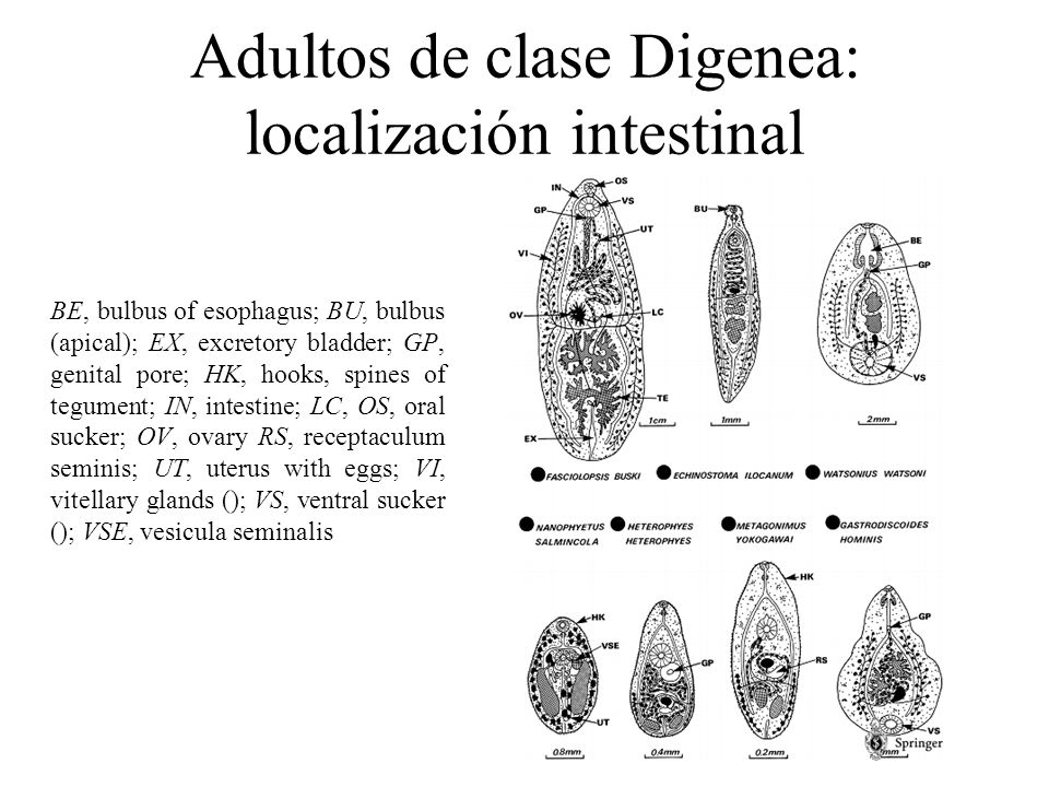 Adultos de clase Digenea: localización intestinal BE, bulbus of esophagus; BU, bulbus (apical); EX, excretory bladder; GP, genital pore; HK, hooks, sp