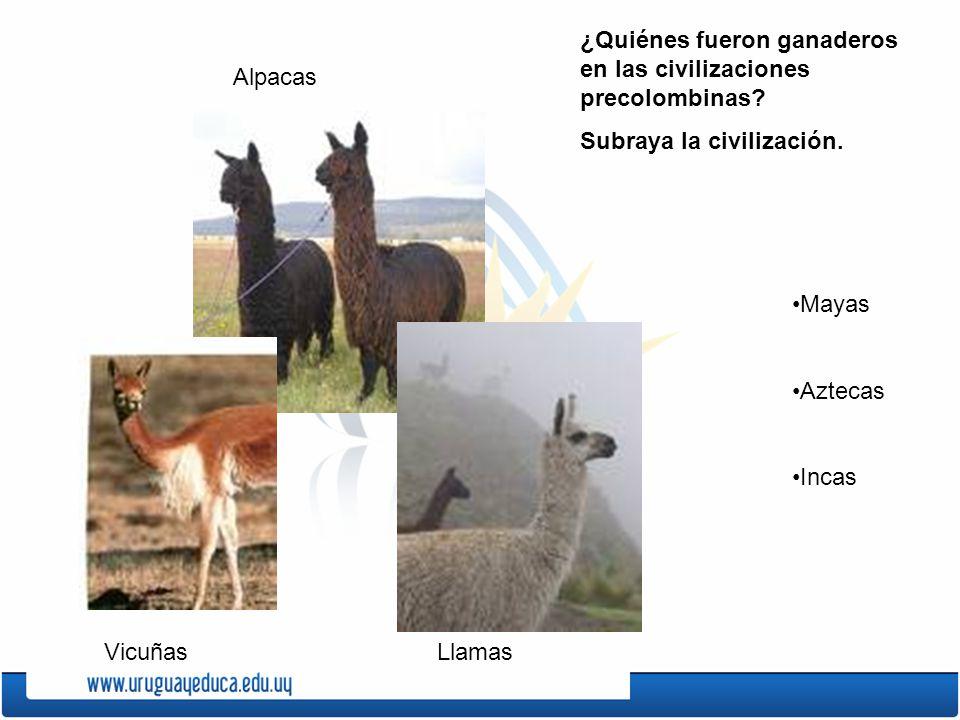 Vicuñas Alpacas Llamas ¿Quiénes fueron ganaderos en las civilizaciones precolombinas? Subraya la civilización. Mayas Aztecas Incas