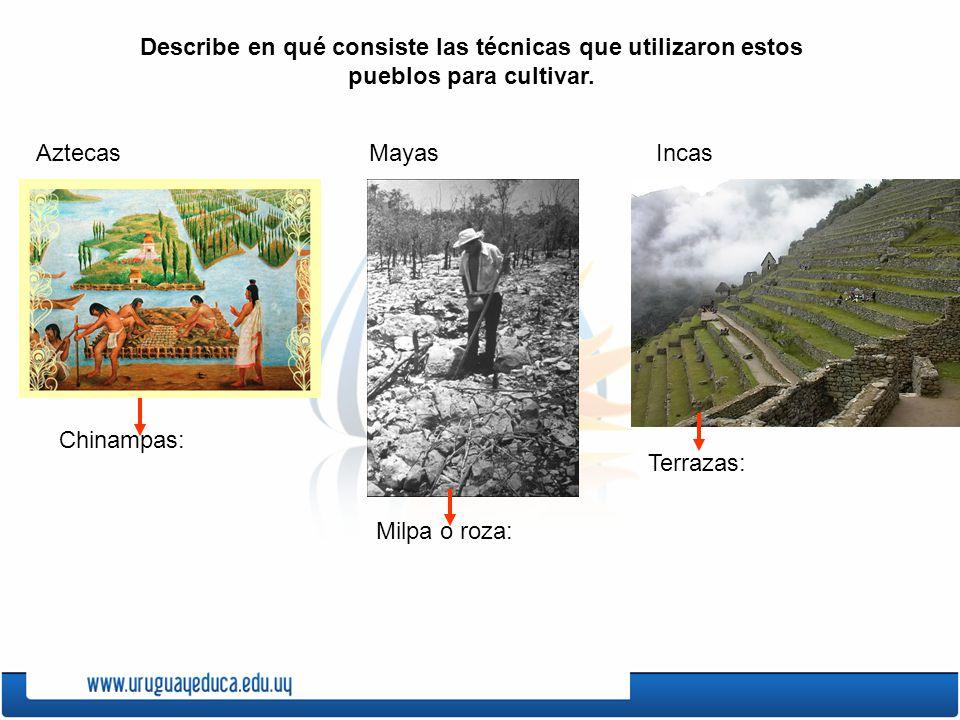 Describe en qué consiste las técnicas que utilizaron estos pueblos para cultivar. IncasMayasAztecas Chinampas: Milpa o roza: Terrazas: