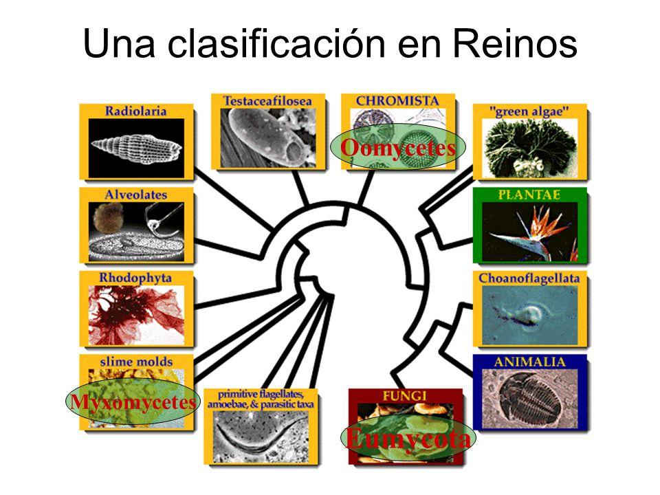 Una clasificación en Reinos Oomycetes Myxomycetes Eumycota