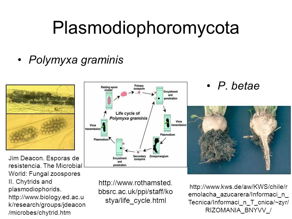 Plasmodiophoromycota Polymyxa graminis P. betae Jim Deacon. Esporas de resistencia. The Microbial World: Fungal zoospores II. Chytrids and plasmodioph