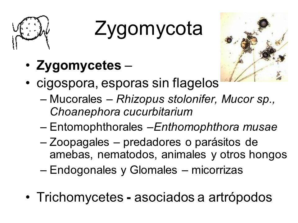 Zygomycota Zygomycetes – cigospora, esporas sin flagelos –Mucorales – Rhizopus stolonifer, Mucor sp., Choanephora cucurbitarium –Entomophthorales –Enthomophthora musae –Zoopagales – predadores o parásitos de amebas, nematodos, animales y otros hongos –Endogonales y Glomales – micorrizas Trichomycetes - asociados a artrópodos