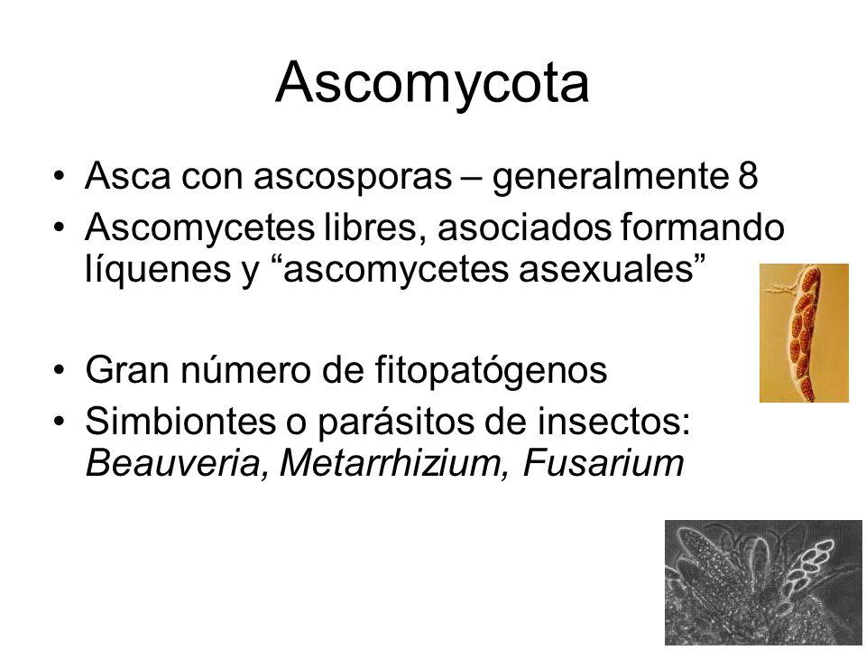 Ascomycota Asca con ascosporas – generalmente 8 Ascomycetes libres, asociados formando líquenes y ascomycetes asexuales Gran número de fitopatógenos S