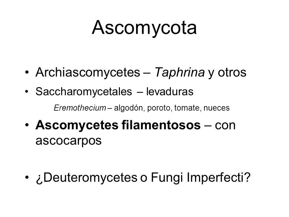 Ascomycota Archiascomycetes – Taphrina y otros Saccharomycetales – levaduras Eremothecium – algodón, poroto, tomate, nueces Ascomycetes filamentosos –