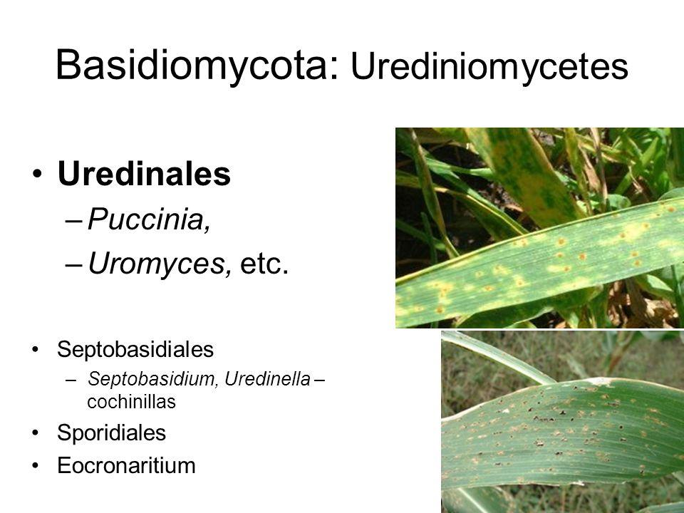 Basidiomycota: Urediniomycetes Uredinales –Puccinia, –Uromyces, etc. Septobasidiales –Septobasidium, Uredinella – cochinillas Sporidiales Eocronaritiu