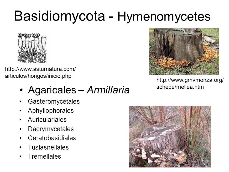 Basidiomycota - Hymenomycetes Agaricales – Armillaria Gasteromycetales Aphyllophorales Auriculariales Dacrymycetales Ceratobasidiales Tuslasnellales Tremellales http://www.gmvmonza.org/ schede/mellea.htm http://www.asturnatura.com/ articulos/hongos/inicio.php