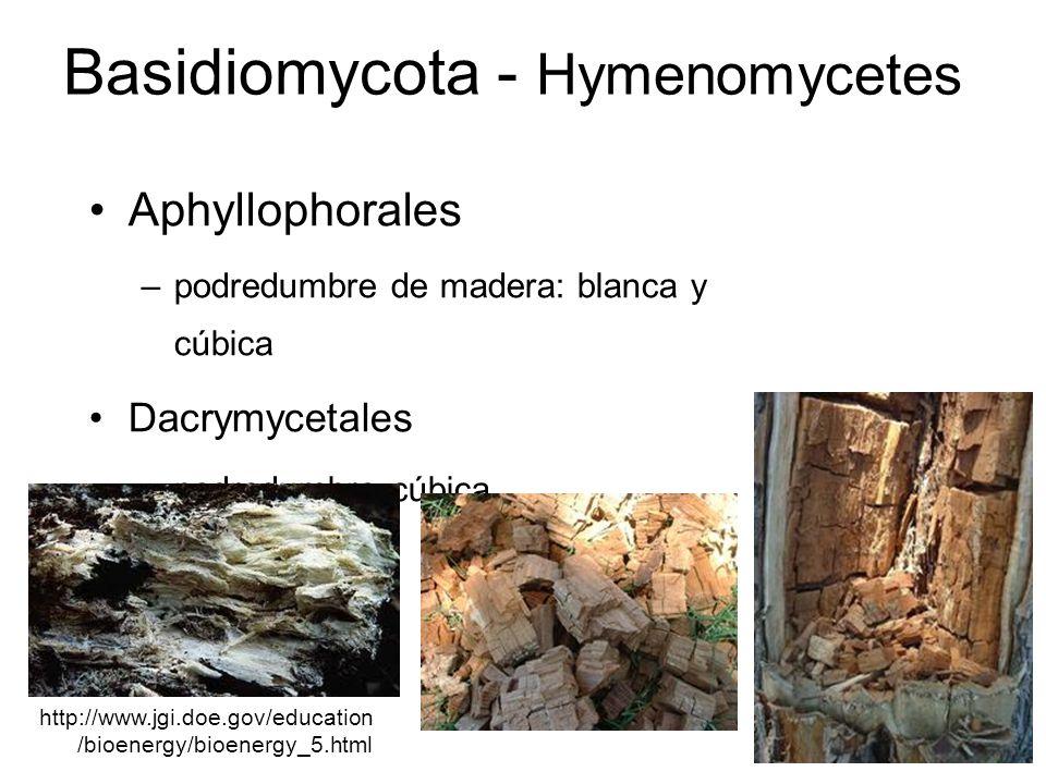 Basidiomycota - Hymenomycetes Aphyllophorales –podredumbre de madera: blanca y cúbica Dacrymycetales –podredumbre cúbica http://www.jgi.doe.gov/educat