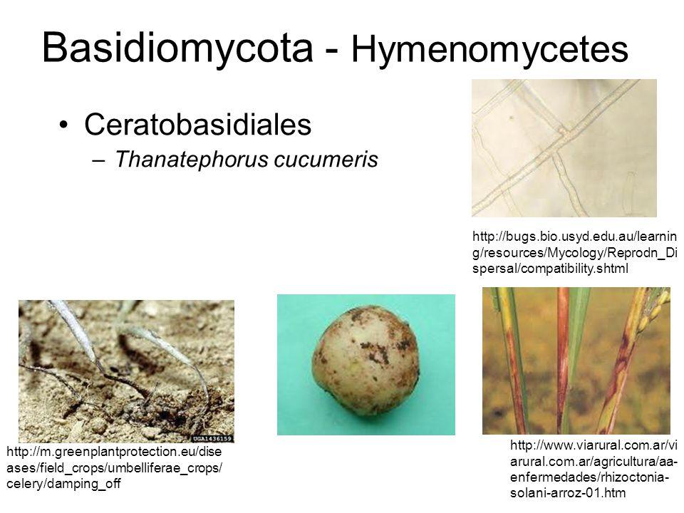 Basidiomycota - Hymenomycetes Ceratobasidiales –Thanatephorus cucumeris http://www.viarural.com.ar/vi arural.com.ar/agricultura/aa- enfermedades/rhizo