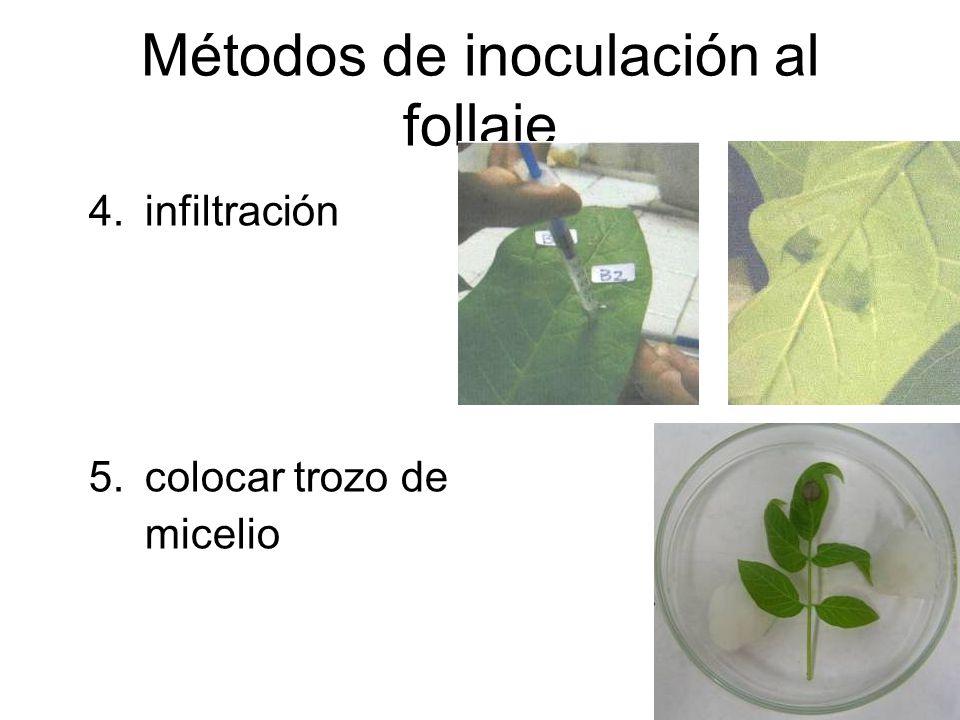 Métodos de inoculación al follaje 4.infiltración 5.colocar trozo de micelio