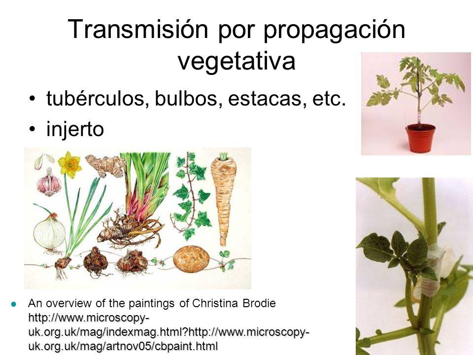 Transmisión por propagación vegetativa tubérculos, bulbos, estacas, etc.