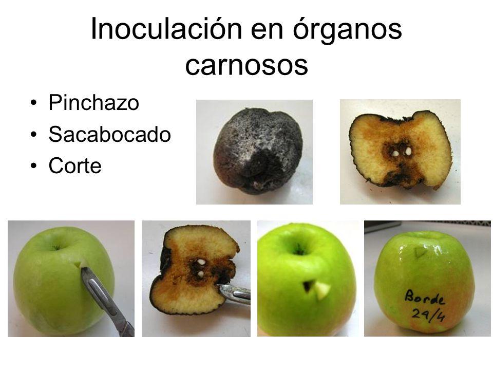 Inoculación en órganos carnosos Pinchazo Sacabocado Corte