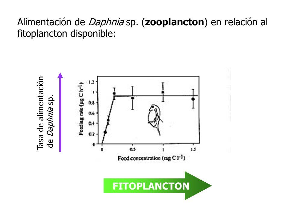 Alimentación de Daphnia sp. (zooplancton) en relación al fitoplancton disponible: FITOPLANCTON Tasa de alimentación de Daphnia sp.
