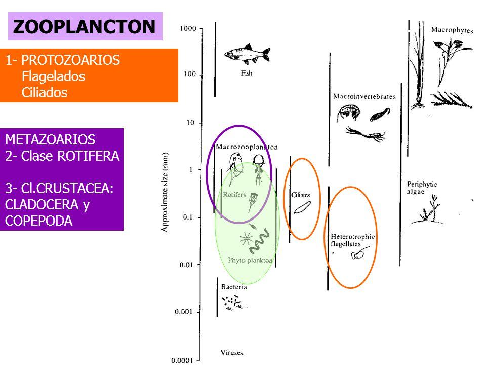 ZOOPLANCTON 1- PROTOZOARIOS Flagelados Ciliados METAZOARIOS 2- Clase ROTIFERA 3- Cl.CRUSTACEA: CLADOCERA y COPEPODA