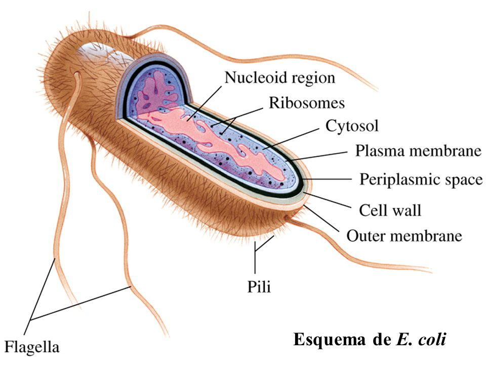 Esquema de E. coli