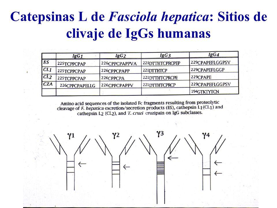 Catepsinas L de Fasciola hepatica: Sitios de clivaje de IgGs humanas