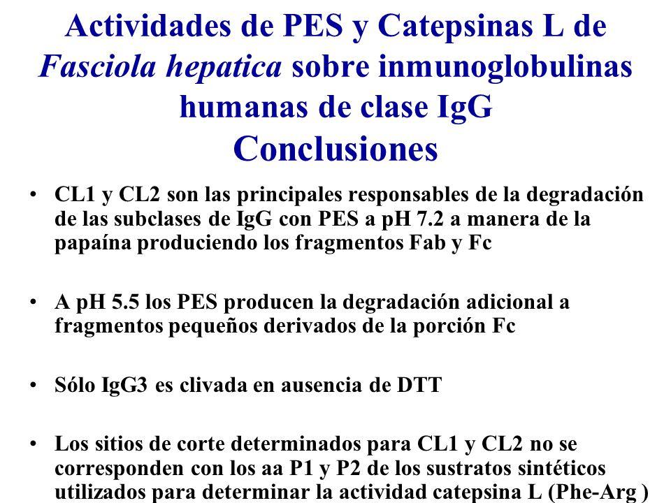 Actividades de PES y Catepsinas L de Fasciola hepatica sobre inmunoglobulinas humanas de clase IgG Conclusiones CL1 y CL2 son las principales responsables de la degradación de las subclases de IgG con PES a pH 7.2 a manera de la papaína produciendo los fragmentos Fab y Fc A pH 5.5 los PES producen la degradación adicional a fragmentos pequeños derivados de la porción Fc Sólo IgG3 es clivada en ausencia de DTT Los sitios de corte determinados para CL1 y CL2 no se corresponden con los aa P1 y P2 de los sustratos sintéticos utilizados para determinar la actividad catepsina L (Phe-Arg )