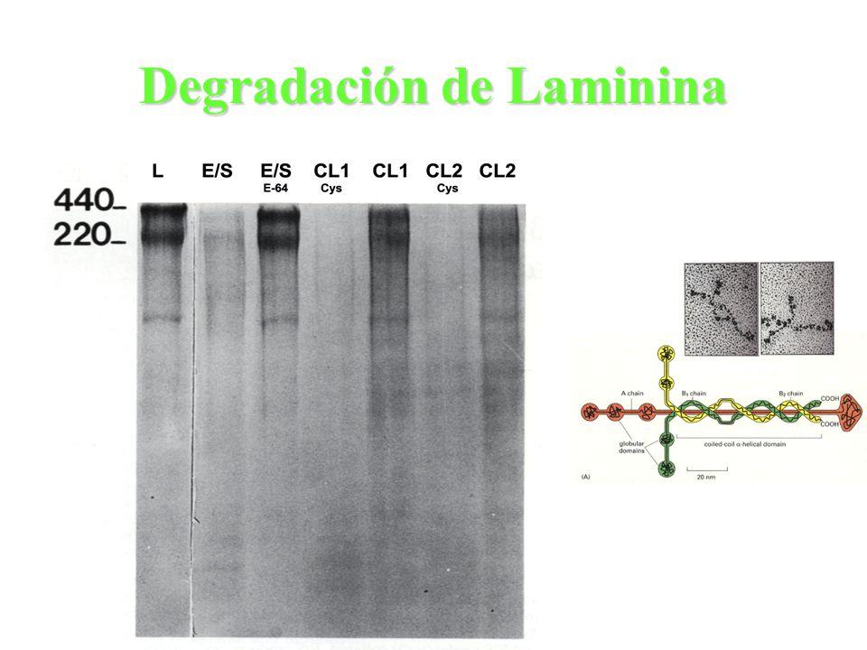 Degradación de Laminina
