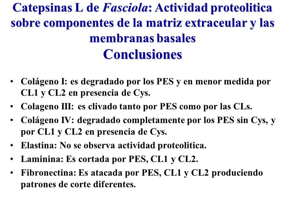 Catepsinas L de Fasciola: Actividad proteolitica sobre componentes de la matriz extraceular y las membranas basales Conclusiones Colágeno I: es degradado por los PES y en menor medida por CL1 y CL2 en presencia de Cys.