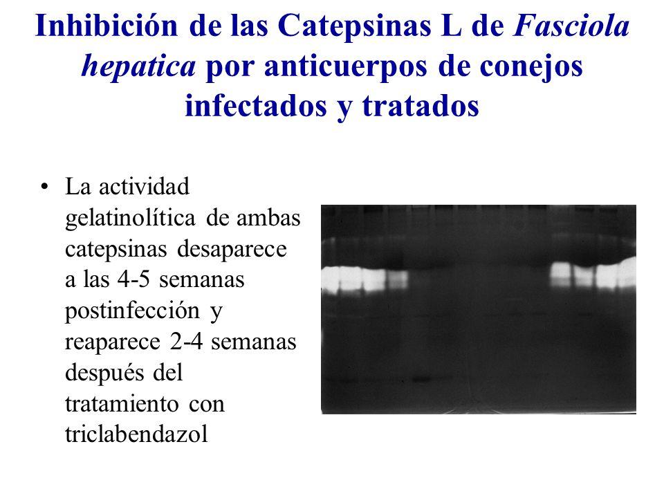 Inhibición de las Catepsinas L de Fasciola hepatica por anticuerpos de conejos infectados y tratados La actividad gelatinolítica de ambas catepsinas desaparece a las 4-5 semanas postinfección y reaparece 2-4 semanas después del tratamiento con triclabendazol