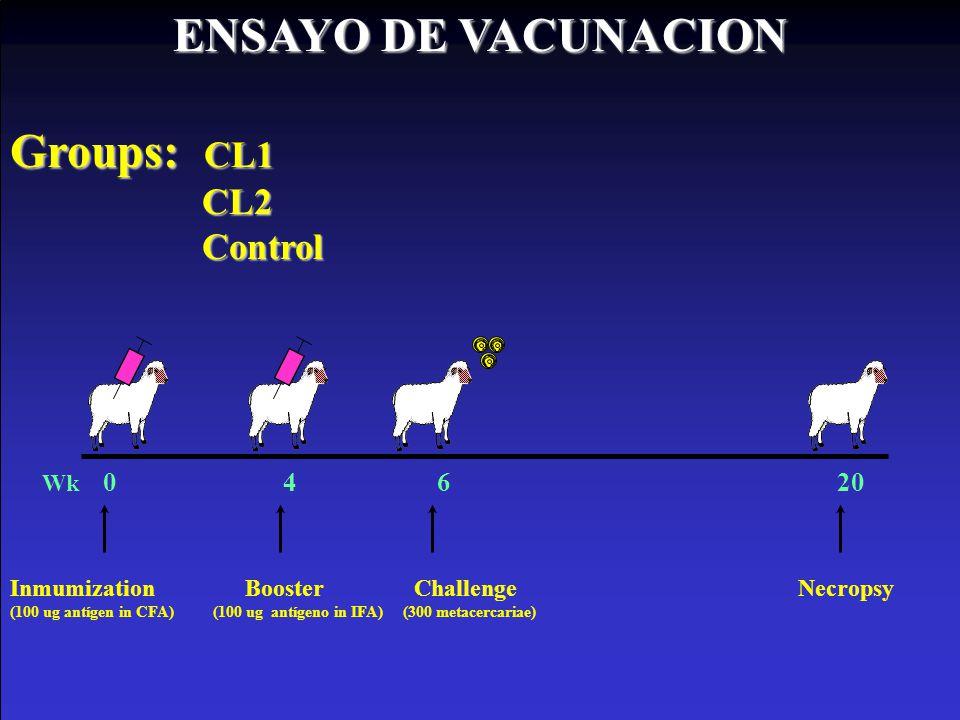 Wk 0 4 6 20 Inmumization Booster Challenge Necropsy (100 ug antígen in CFA) (100 ug antígeno in IFA) (300 metacercariae) ENSAYO DE VACUNACION Groups: CL1 CL2 Control