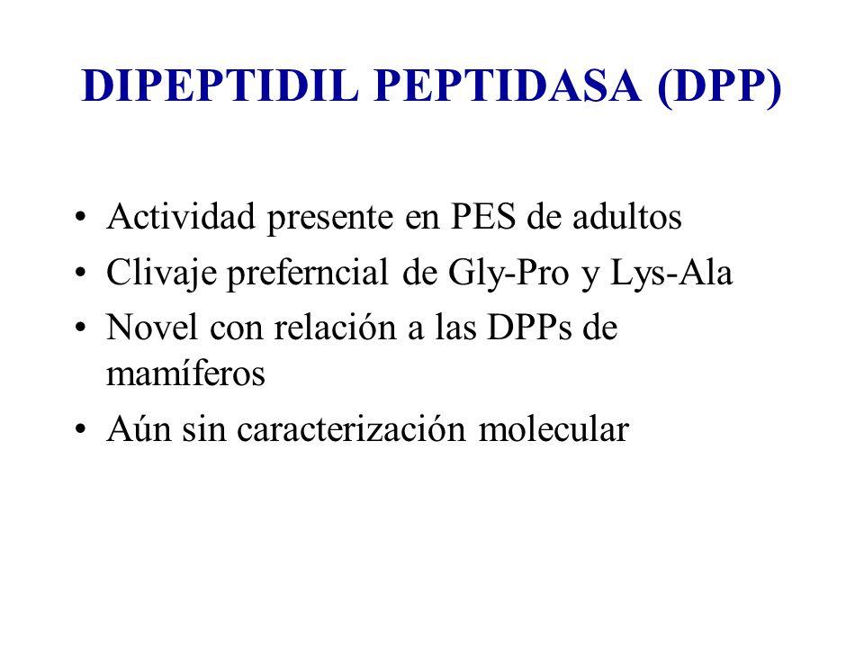 DIPEPTIDIL PEPTIDASA (DPP) Actividad presente en PES de adultos Clivaje preferncial de Gly-Pro y Lys-Ala Novel con relación a las DPPs de mamíferos Aún sin caracterización molecular