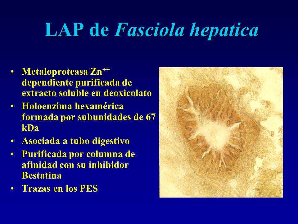 LAP de Fasciola hepatica Metaloproteasa Zn ++ dependiente purificada de extracto soluble en deoxicolato Holoenzima hexamérica formada por subunidades de 67 kDa Asociada a tubo digestivo Purificada por columna de afinidad con su inhibidor Bestatina Trazas en los PES
