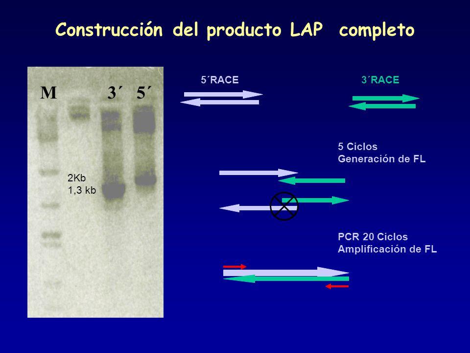 5´RACE3´RACE 5 Ciclos Generación de FL PCR 20 Ciclos Amplificación de FL M 3´ 5´ 2Kb 1,3 kb Construcción del producto LAP completo