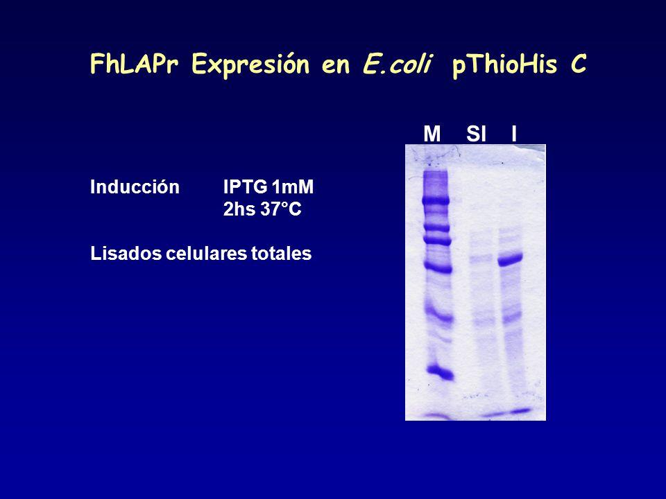 Inducción IPTG 1mM 2hs 37°C Lisados celulares totales M SI I FhLAPr Expresión en E.coli pThioHis C