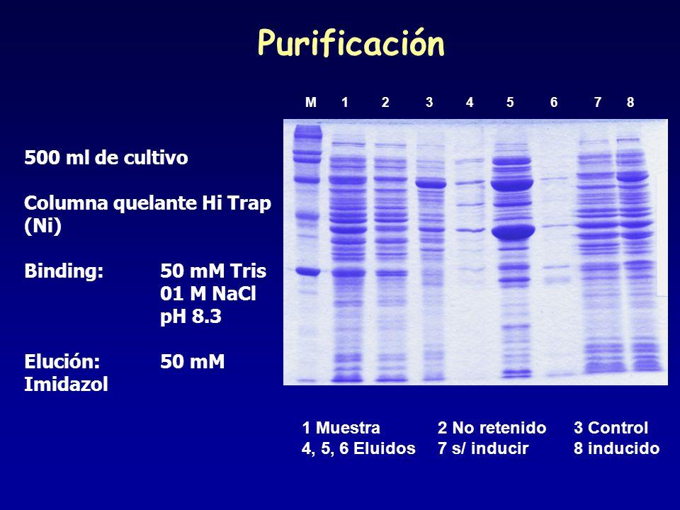 M 1 2 3 4 5 6 7 8 1 Muestra2 No retenido3 Control 4, 5, 6 Eluidos7 s/ inducir8 inducido 500 ml de cultivo Columna quelante Hi Trap (Ni) Binding: 50 mM Tris 01 M NaCl pH 8.3 Elución:50 mM Imidazol Purificación