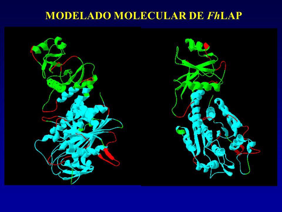 MODELADO MOLECULAR DE FhLAP