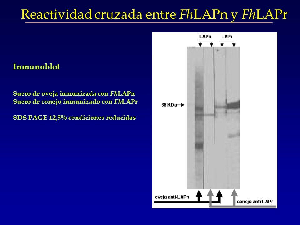 Reactividad cruzada entre Fh LAPn y Fh LAPr Inmunoblot Suero de oveja inmunizada con Fh LAPn Suero de conejo inmunizado con Fh LAPr SDS PAGE 12,5% condiciones reducidas
