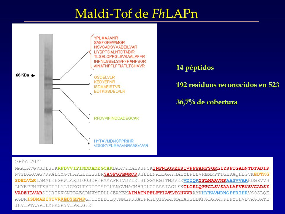 14 péptidos 192 residuos reconocidos en 523 36,7% de cobertura >FheLAPr MAALAVGVSDLSDKRFDVVIFINDDADEGCAKDAAVYEALKSFSKINPNLGSELSIVPFPAHPSGRLIYSPTGALNTDTADIR NVYDAACAGVKRALSMGCHAPLLYLGSLRSASFGFEWMQRKHLLLNALLGAYHALYLPLEVREMRPTTGLKAQHLGVKEDTKG SDELVLRLAMALEEGRWLARDIGGSDPERMAAPRIVDYLKTSLGGMKGITMSVEKVDIQKYPLMAAVNRAASVVARHDGRVVH LKYEPPNPTEVDTTLYLIGKGITYDTGGADIKANGVMAGMHRDKCGAAAIAGLFKTLGELQPPGLSVSAALAFVRNSVGADSY VADEILVARSGQRIRVGNTDAEGRMVMTDLLCEAKEKAINATNPFLFTIATLTGHVVRAYKHYTAVMDNGPPRIHRVSQSLQE AGDRISDMAEISTVRKEDYEFNRGKTEYEDTLQCNNLPSSATPRGHQIPAAFMALASGLDKHGLGSAKPIPYTHVDVAGSATE IHVLPTAAPLLMFASRYVLPRLGFK Maldi-Tof de Fh LAPn
