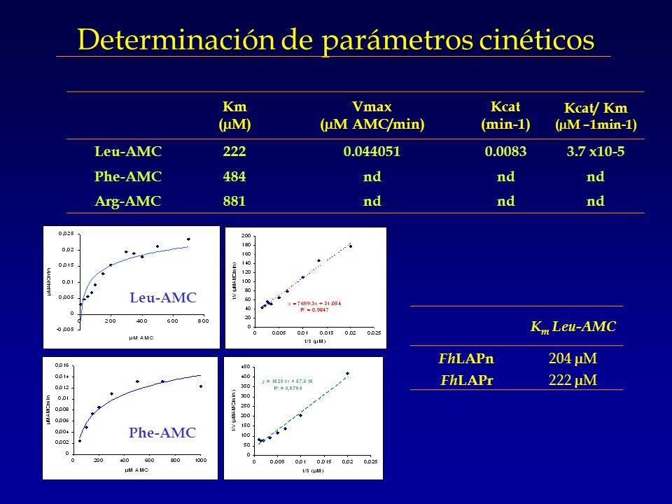 Km (µM) Vmax (µM AMC/min) Kcat (min-1) Kcat/ Km (µM –1min-1) Leu-AMC2220.0440510.00833.7 x10-5 Phe-AMC484nd Arg-AMC881nd K m Leu-AMC Fh LAPn 204 µ M Fh LAPr 222 µ M Leu-AMC Phe-AMC Determinación de parámetros cinéticos