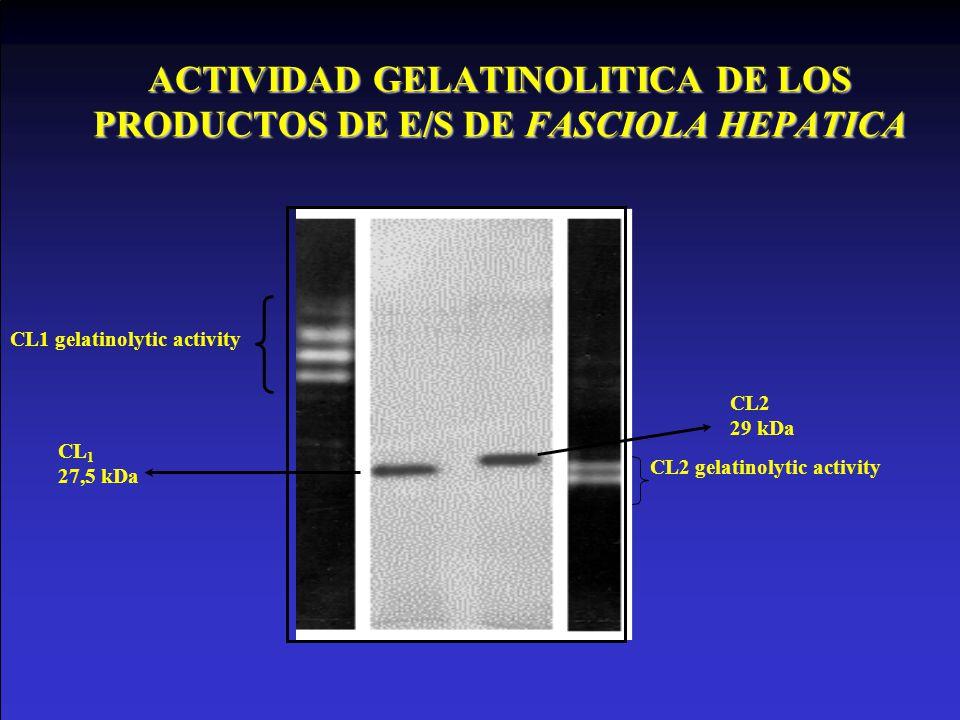 ACTIVIDAD GELATINOLITICA DE LOS PRODUCTOS DE E/S DE FASCIOLA HEPATICA CL 1 27,5 kDa CL1 gelatinolytic activity CL2 29 kDa CL2 gelatinolytic activity